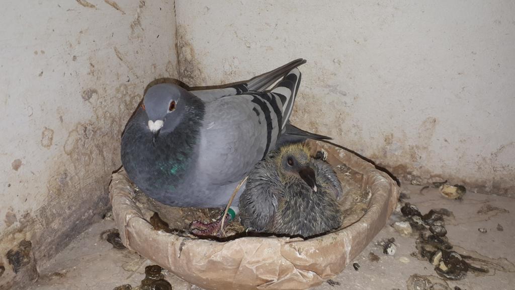 foto winnende duif Periqueux B. Pelle Hengevelde.jpg